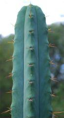 Cactusland bridgesii