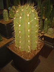 Trichocereus terscheckii 'bro'