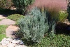 Ephedra equisetina