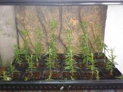 first ever pereskiopsis graft stage 1