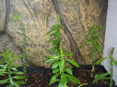 first ever pereskiopsis graft stage 8