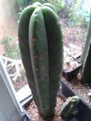 Trichocereus scopulicola -spiny scop -came labelled as pachanoi -maybe possible hybrid?
