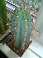 Trichocereus peruvianus 'cactoman'