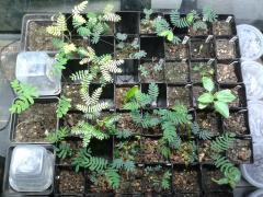 Acacials and Mimosals