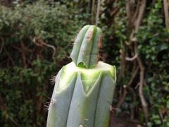 Trichocereus macrogonus papaizinha repair