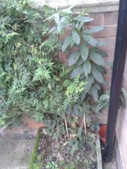 Latua pubiflora with jasmine