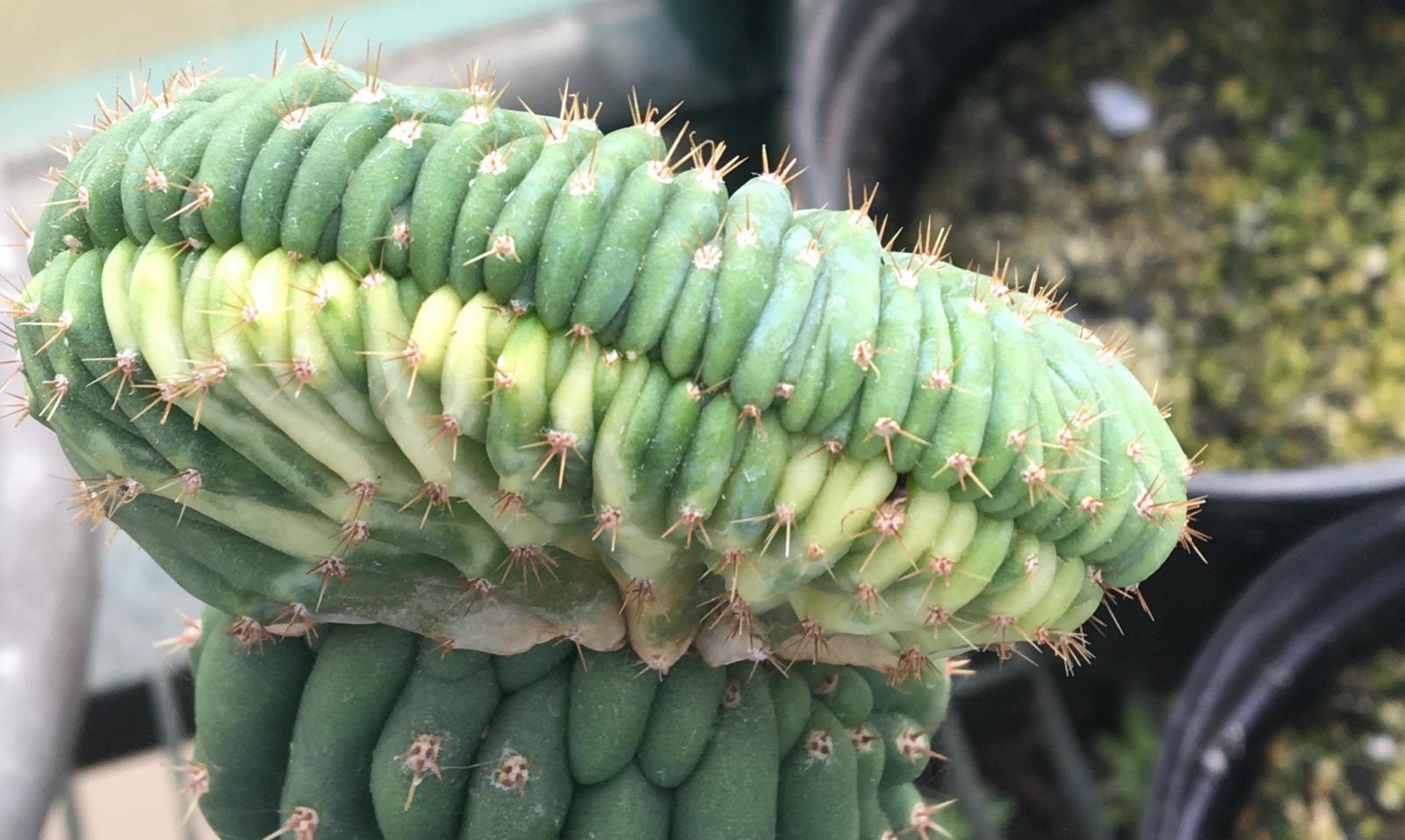 variegatedpachanoi495.jpg