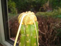 R.I.P. (failed) Aztekium ritterii degrafted and regrafted to Trichocereus pachanoi