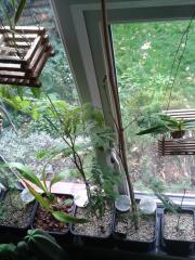 Mimosa scabrella