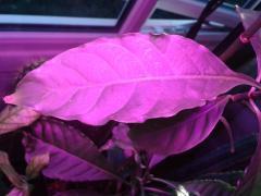 Psychotria sp' ecial Uwe clone