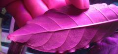 Psychotria sp' ecial Uwe clone domatia/ espina/ foveola