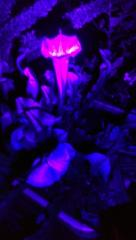 Sarraceniaceae pitcher plant