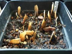Banisteriopsis caapi 'caupuri'