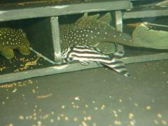 New inhabitants - L128 Hemiacistrus sp' and L046 Hypancistrus zebra