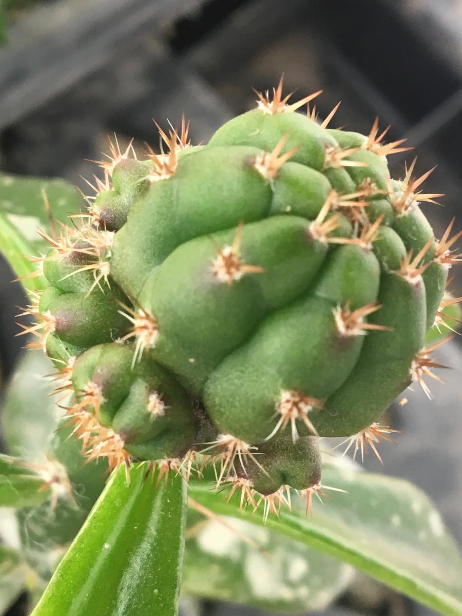 Huarazensis x Zelly.jpg