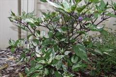 Purple Tiger Chilli