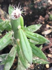 Trichocereus scopulicola xTrichocereus terscheckii 1wk.jpg