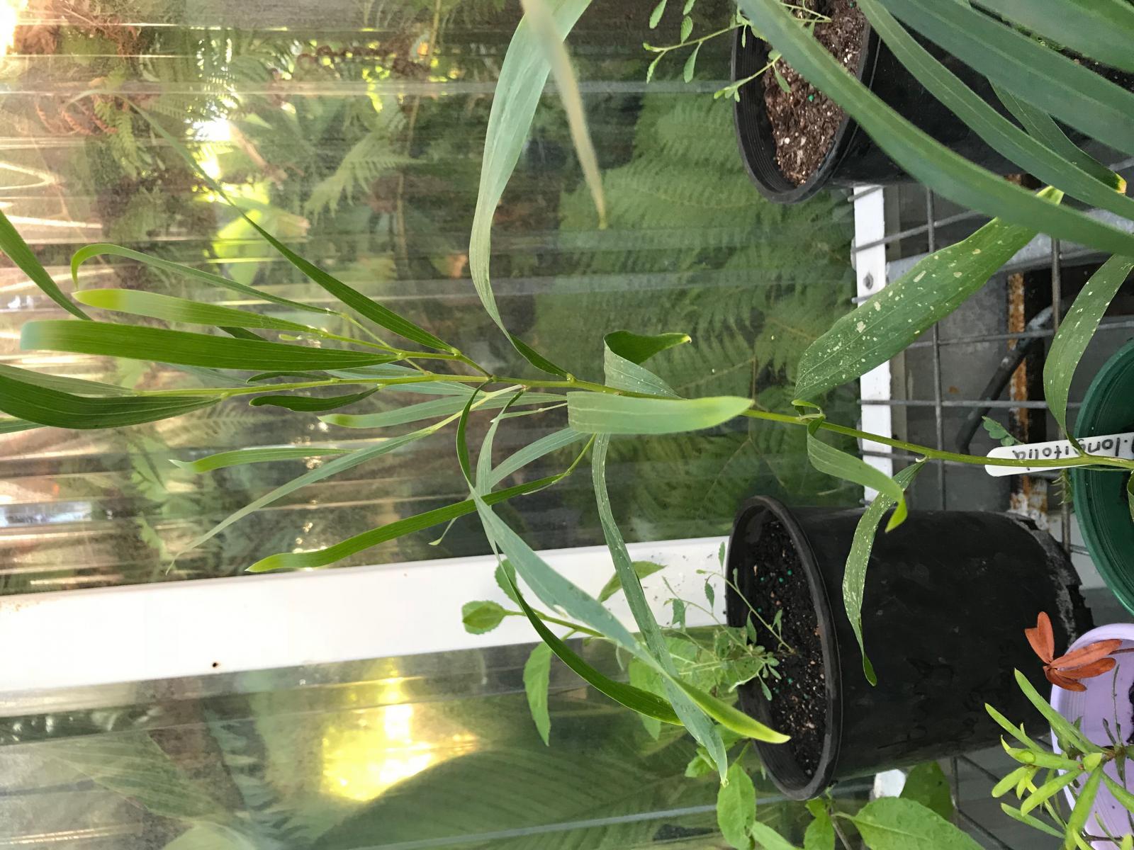 A.longifolia