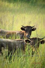 cows fo.jpg