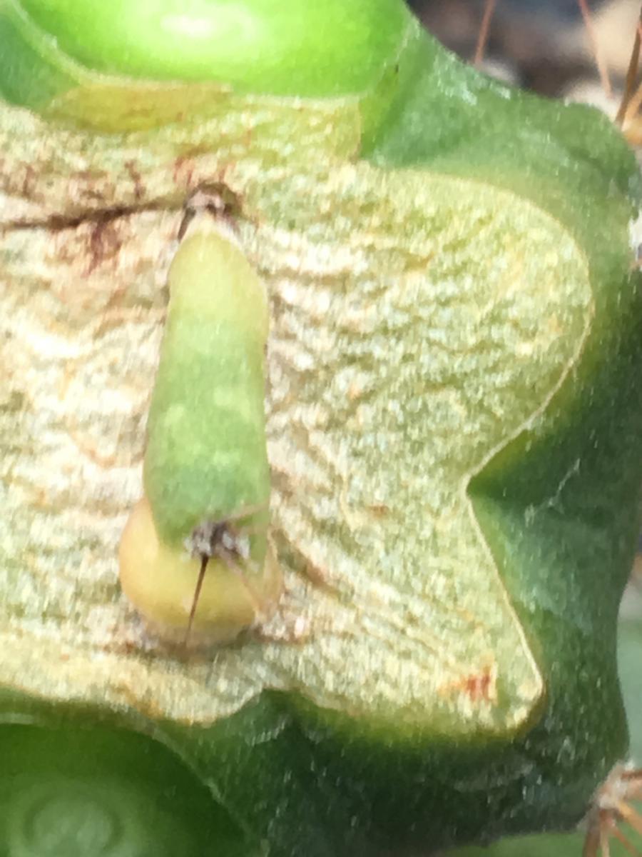 Crested variegated Trichocereus pachanoi areole graft6.jpg