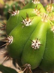 Trichocereus scopulicola x Trichocereus terscheckii 36.jpg
