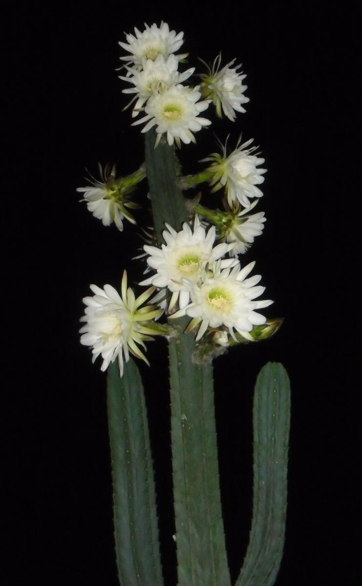 pspedroflower.JPG