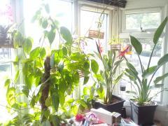 Banisteriopsis caapi mother plant.jpg