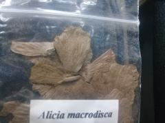 Alicia macrodisca Bra 2.jpg
