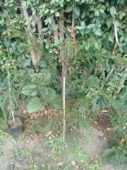 Acacia_floribunda_2.jpg