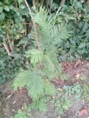 Acacia_mearnsii_2.jpg