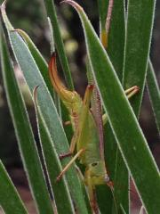acuminata katydid.jpg