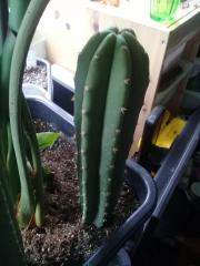 Trichocereus scopulicola 'Harry' -spiny scop -came labelled as pachanoi -maybe possible hybrid?