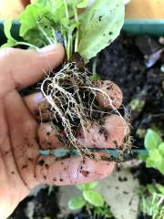 Shipibo Leaf Roots