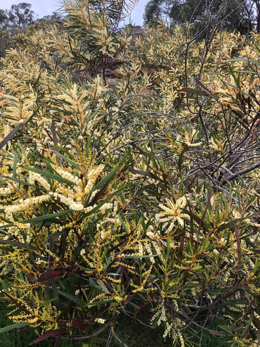 Acacia obtusifolia in flower (December)