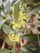PH strain C. edulis inflorescence